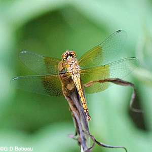 Band Wing Meadowhawk