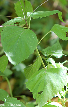 American Lopseed leaf