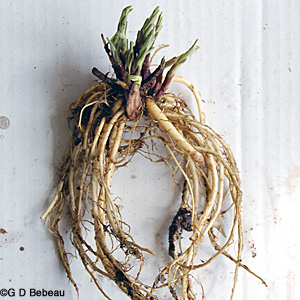 Bottle Gentian Root