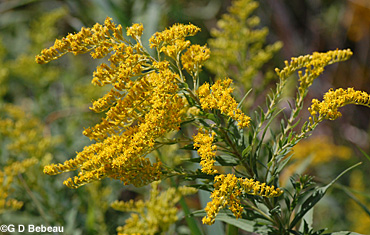 Late Goldenrod flowers