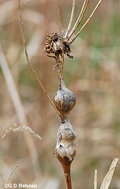 Late Goldenrod 3 galls