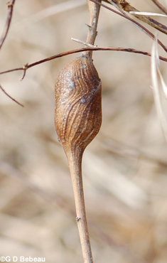 Late Goldenrod spindle gall