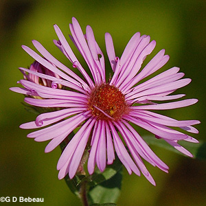 New England Aster rose flower