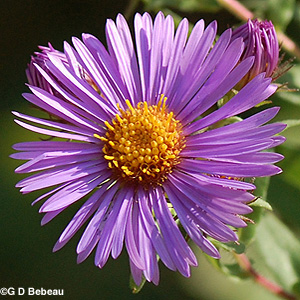 New England Aster purple flower