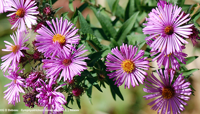 New England aster rose flowers
