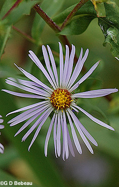 Red-stemmed Aster flower