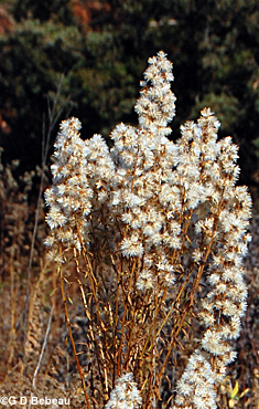 Showy Goldenrod seed heads