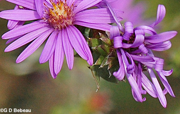 Silky Aster Bracts