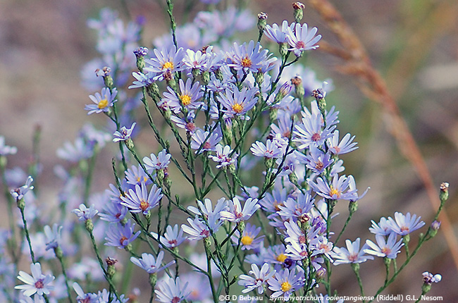 Sky Blue Aster panicle