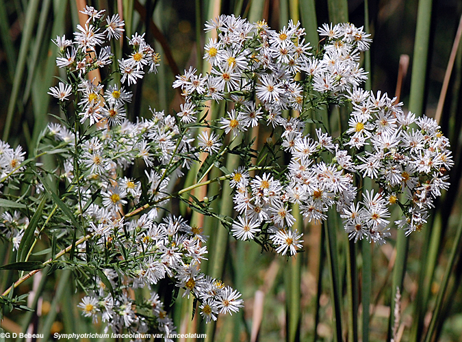 White Panicle aster inflorescence