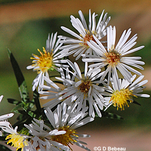 White Panicle Aster Flower