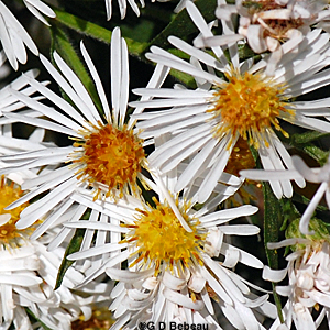 White Panicle Aster Flower closeup