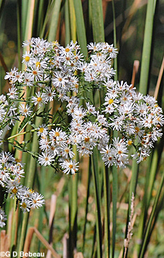 White Panicle Aster