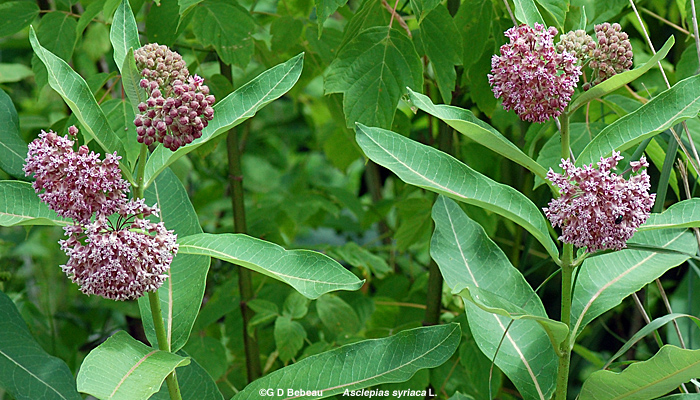 Common Milkweed group
