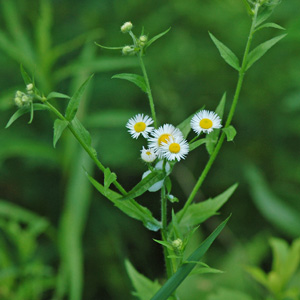 Annual Fleabane flower