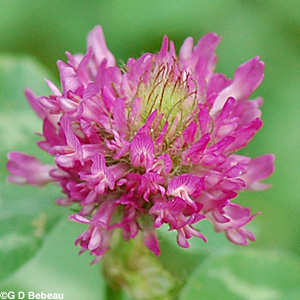 Red Clover flower closeup