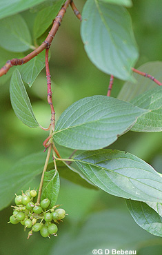 Red Osier dogwood Green fruit