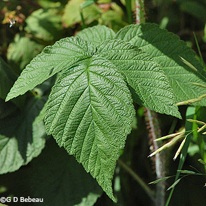 Wild Red Raspberry Leaf