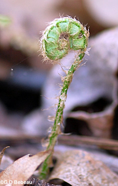 Christmas Fern fiddlehead
