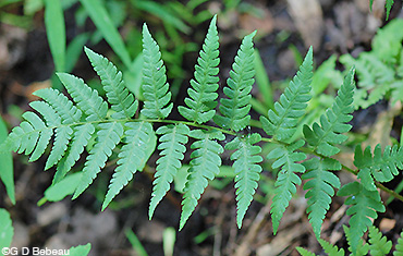 Crested Woodfern pinnae