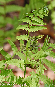 Interrupted fern fertile frond