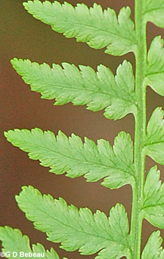 Lady Fern Pinnule