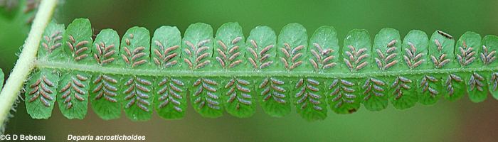 Silvery False Spleenwort fertile pinnae