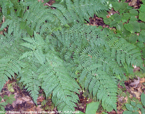Spinulose Wood Fern