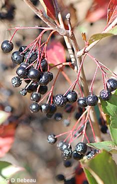 Black Chokeberry fall fruit