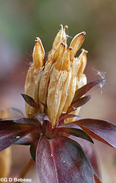 Bottle Gentian seed head
