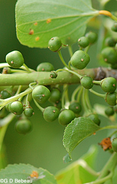 Buckthorn green berries