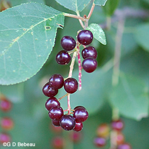 Chokecherry mature fruit