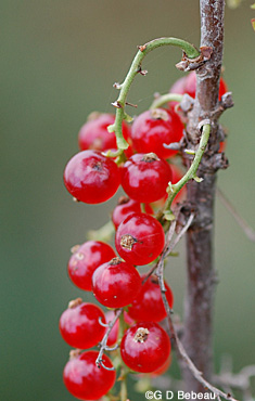 Garden currant fruit
