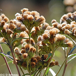 Ironweed in seed