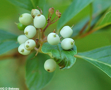 Red Osier Dogwood Fruit