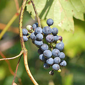 Riverbank grape mature fruit