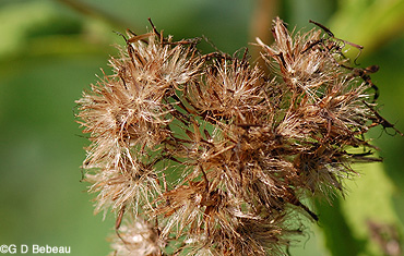 Sweet Joe-Pye Weed seed head