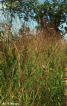 Big Bluestem plant group