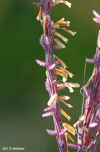 Big Bluestem panicle detail