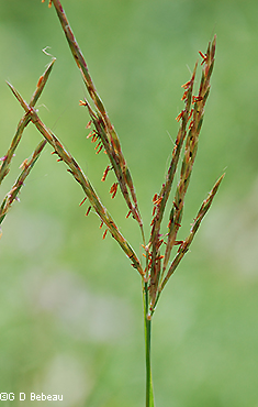 Big Bluestem panicle