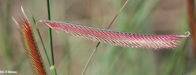 spikelets and rachis