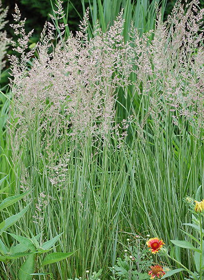 Fall Reed Grass