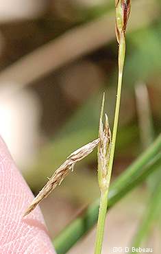 young pistillate spike