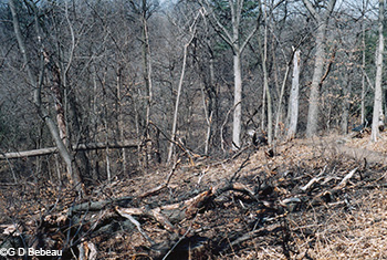 Burnt residue of red oaks