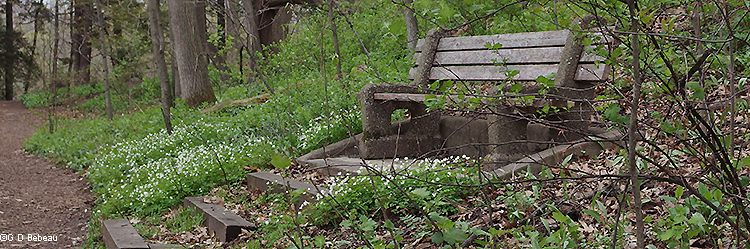 Woodland bench with false rue anemone