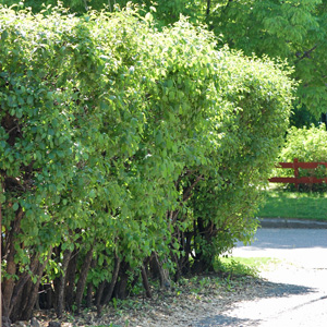 Buckthorn Hedge