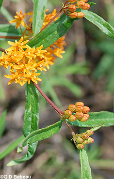 Butterflyweed Buds