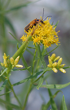 Grass-leaved Goldenrod