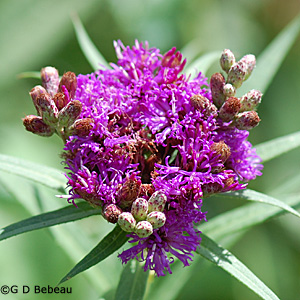 Ironweed flower head