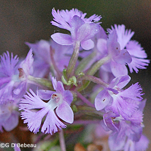 Lesser Purple Fringed Orchid flower